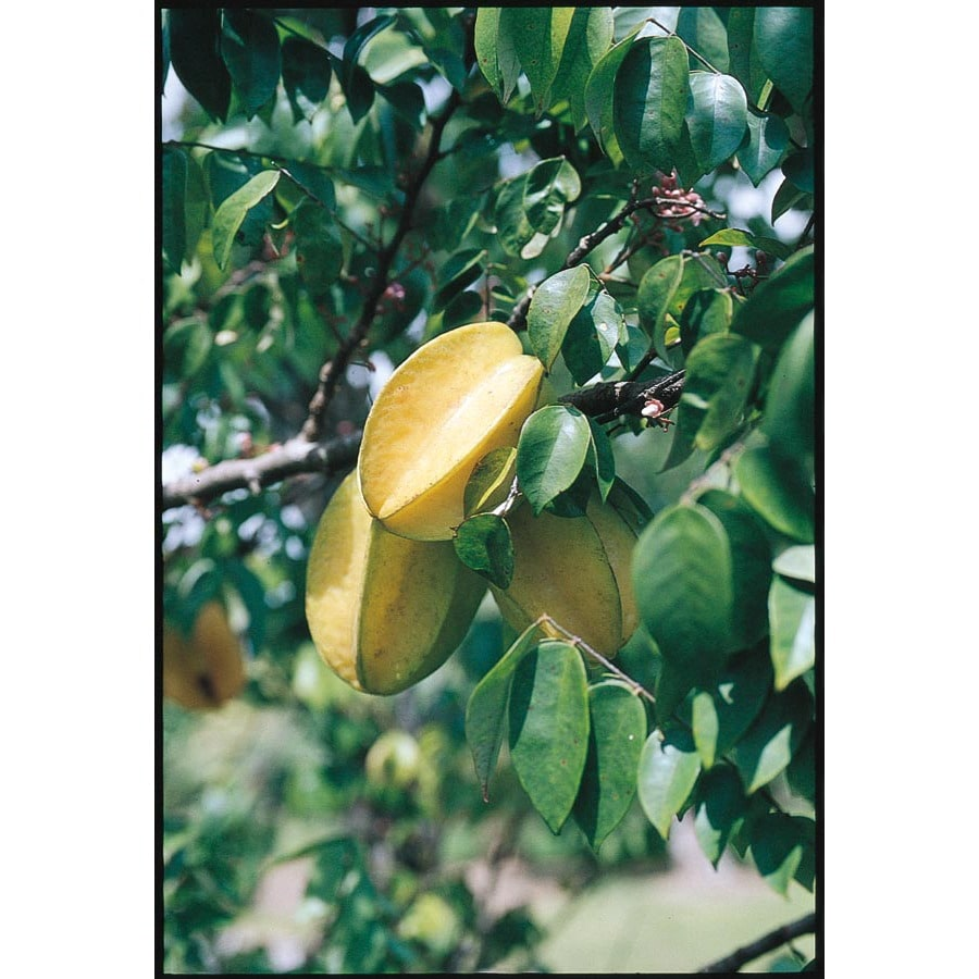 2.25-Gallon Carambola Tree (L7600)