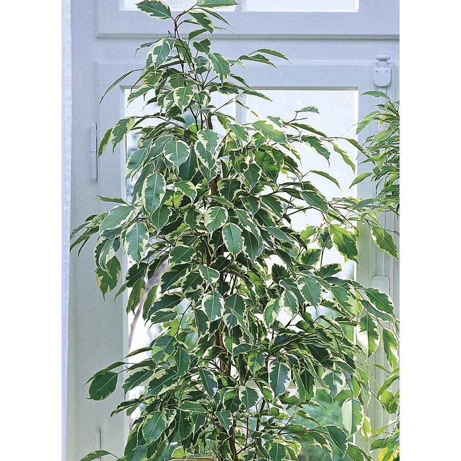 2.25-Gallon Ficus (L20939hp)
