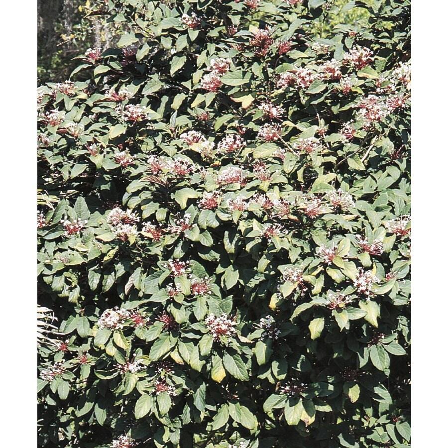 2.25-Gallon Bicolor Clerodendrum Flowering Shrub (L14500)