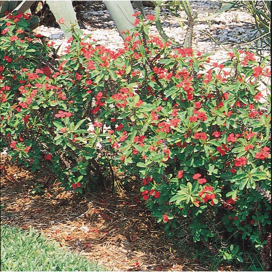 Shop crown of thorns l3280 at for Crown of thorns plant