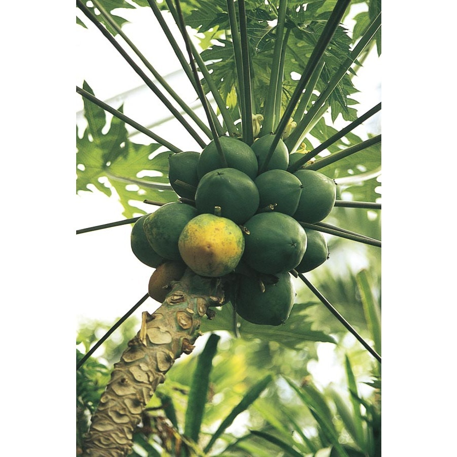 2.25-Gallon Papaya Fruit Tree (L14496)