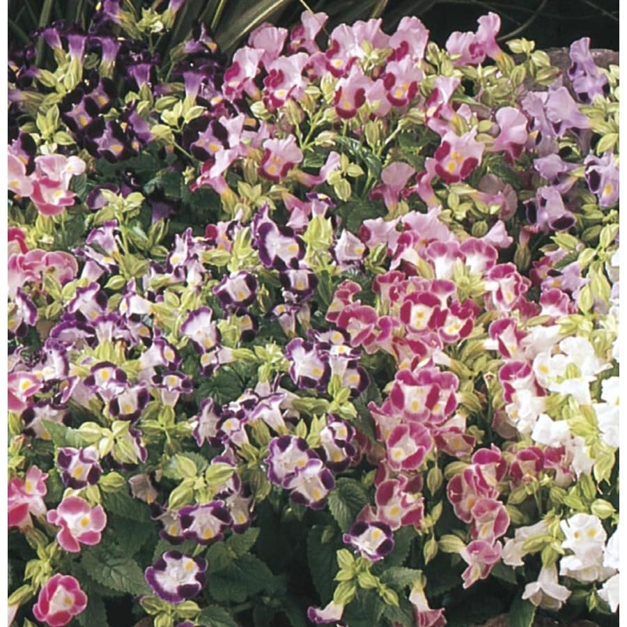 1.5-Gallon Torenia (L9964)
