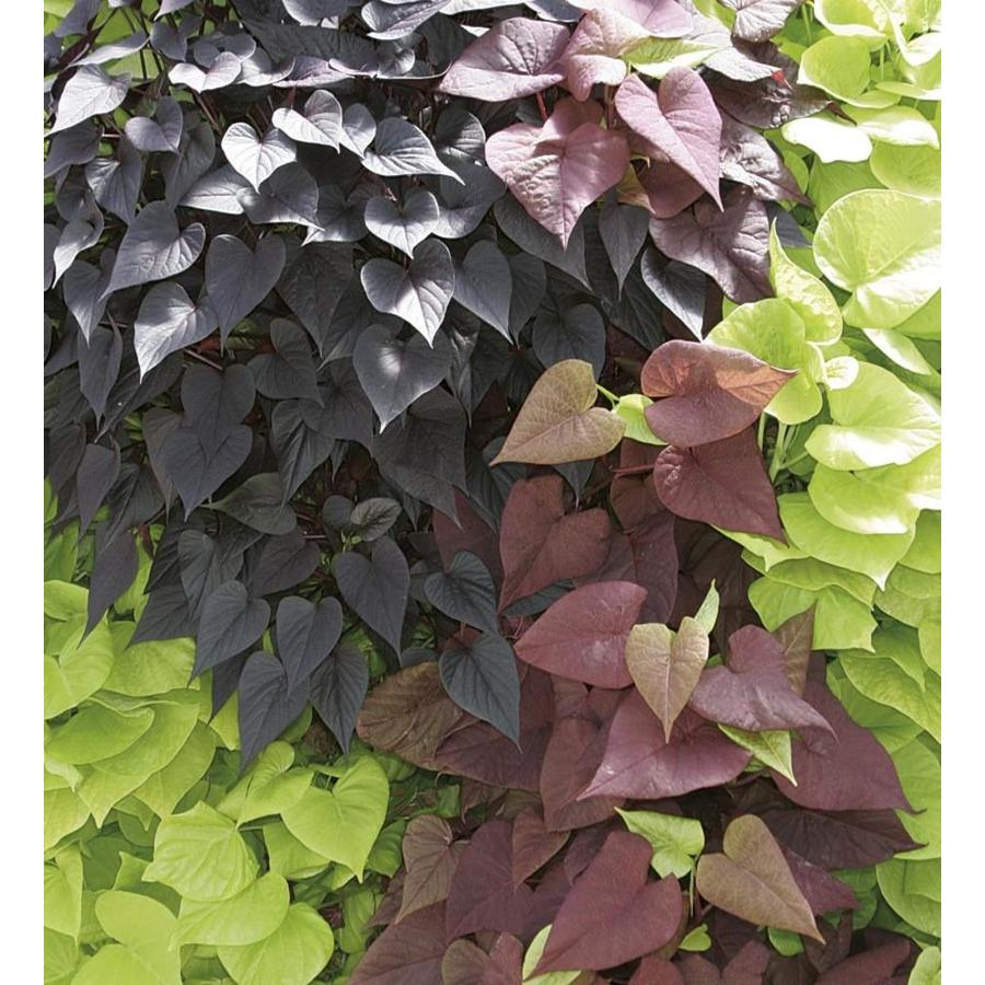 2.5-Quart Sweet Potato Vine (L9884)