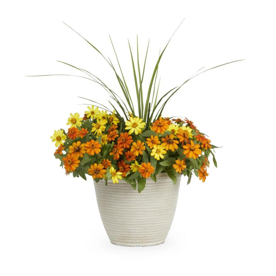 2-Gallon Zinnia (L6859)