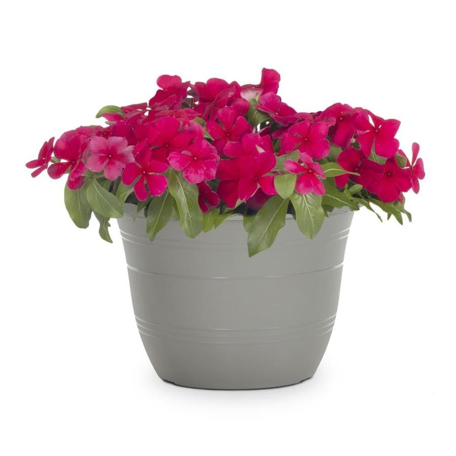1-Gallon Temporary Vinca (L3286)