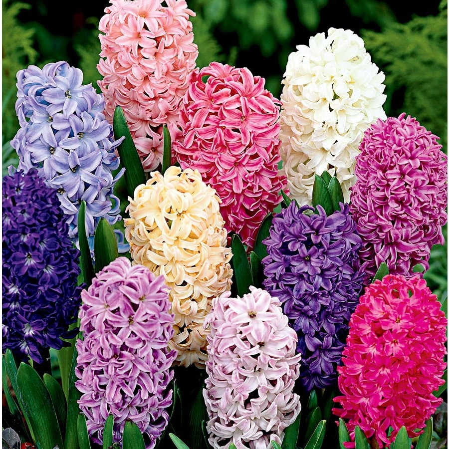 1-Gallon Hyacinth Bulbs