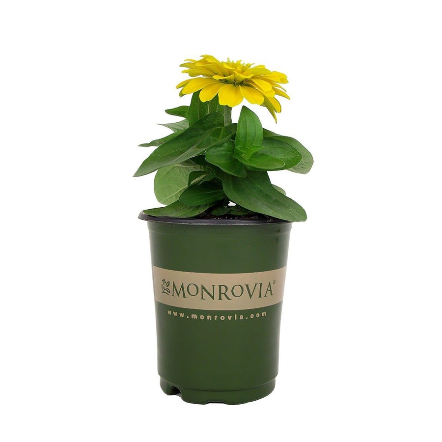 1-Pint Temporary Container Zinnia