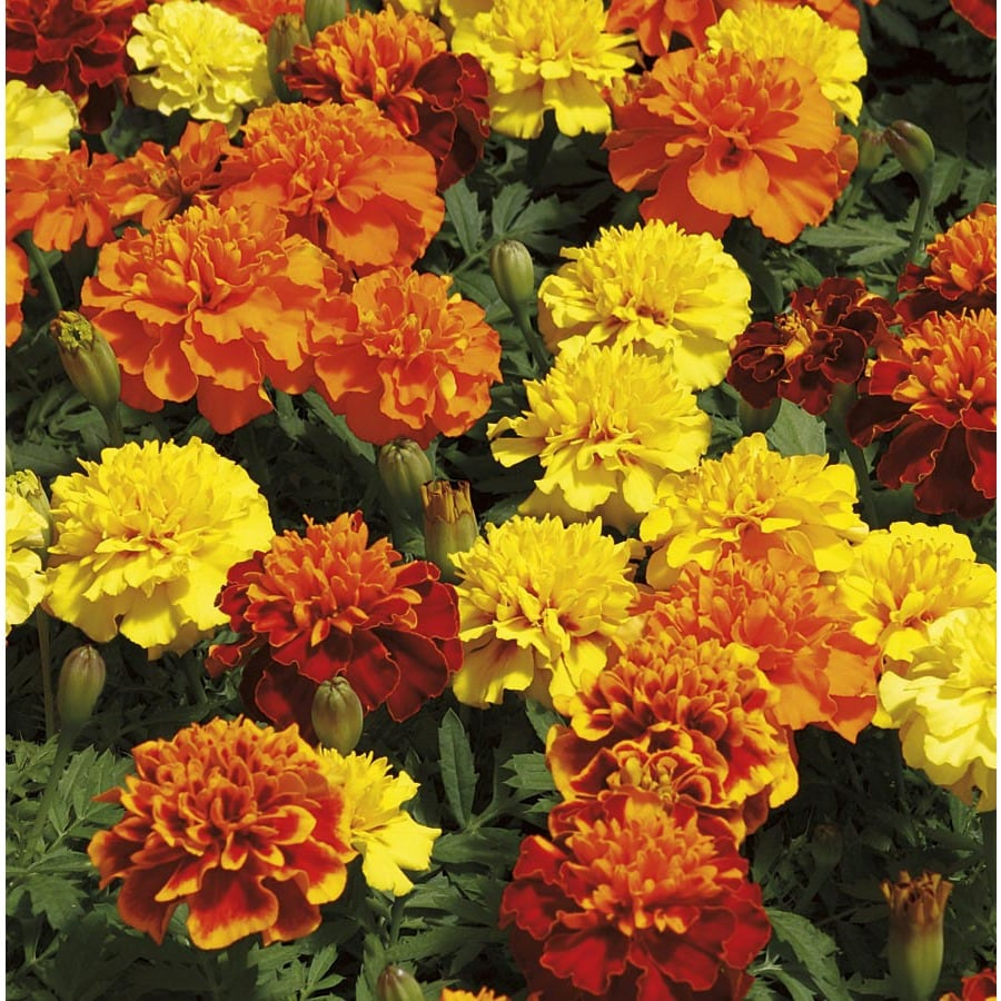 3-Quart French Marigold (Dwarf) (L17086)