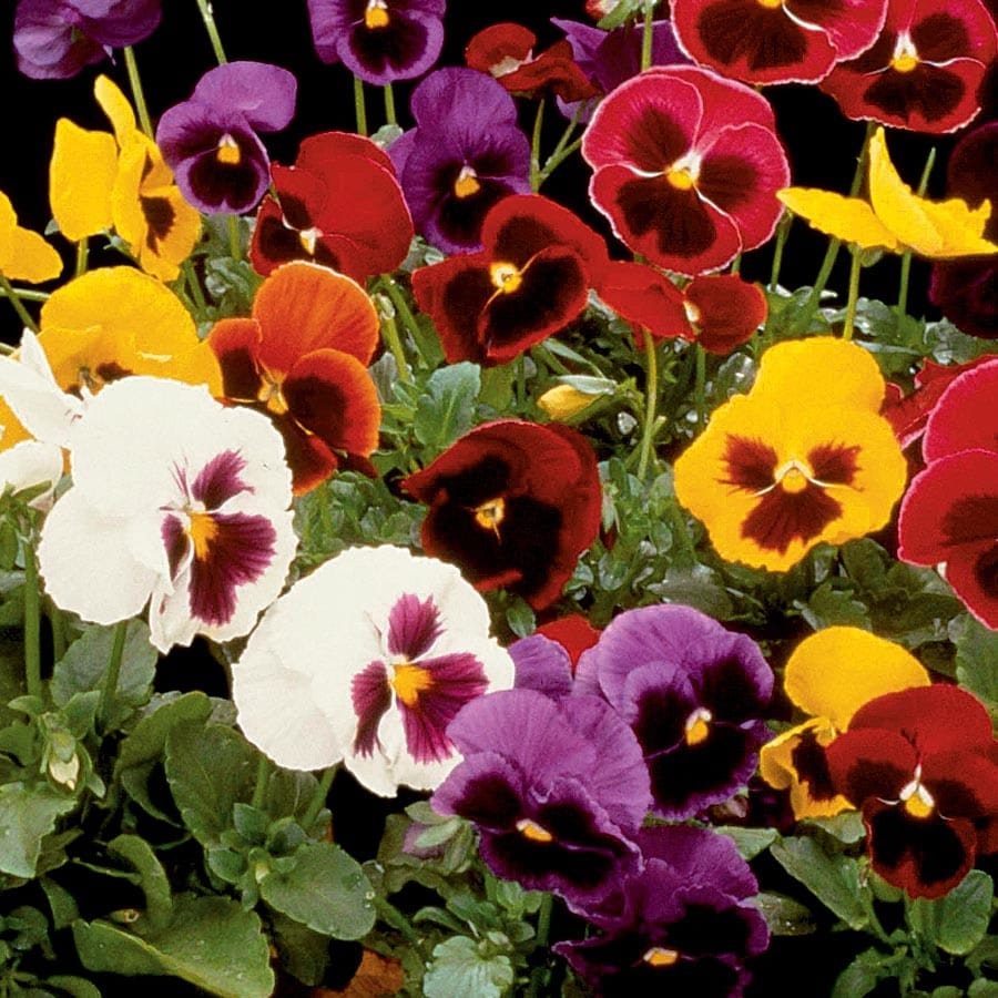 1-Quart Majestic Giants Pansy (L16574)