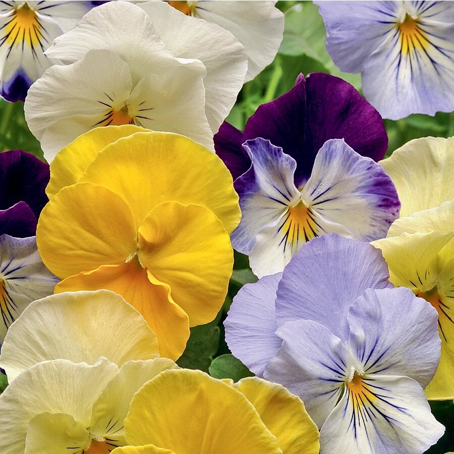1.25-Quart Cool Wave Mix Spreading Pansy (L24612)