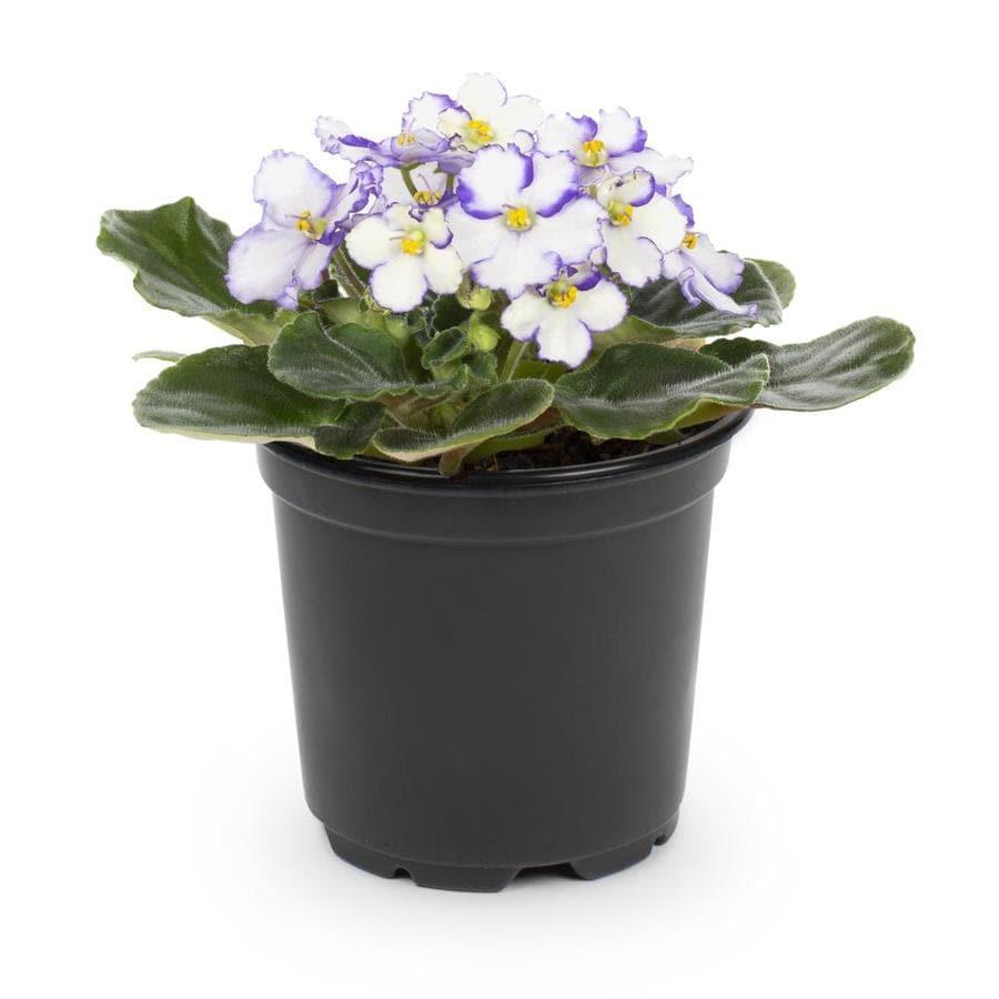 13-oz African Violets (Lw01547HP)