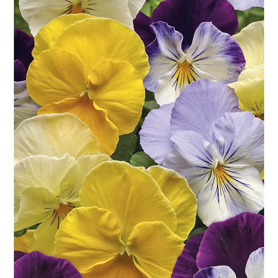 2.5-Quart Cool Wave Mix Spreading Pansy (L24612)