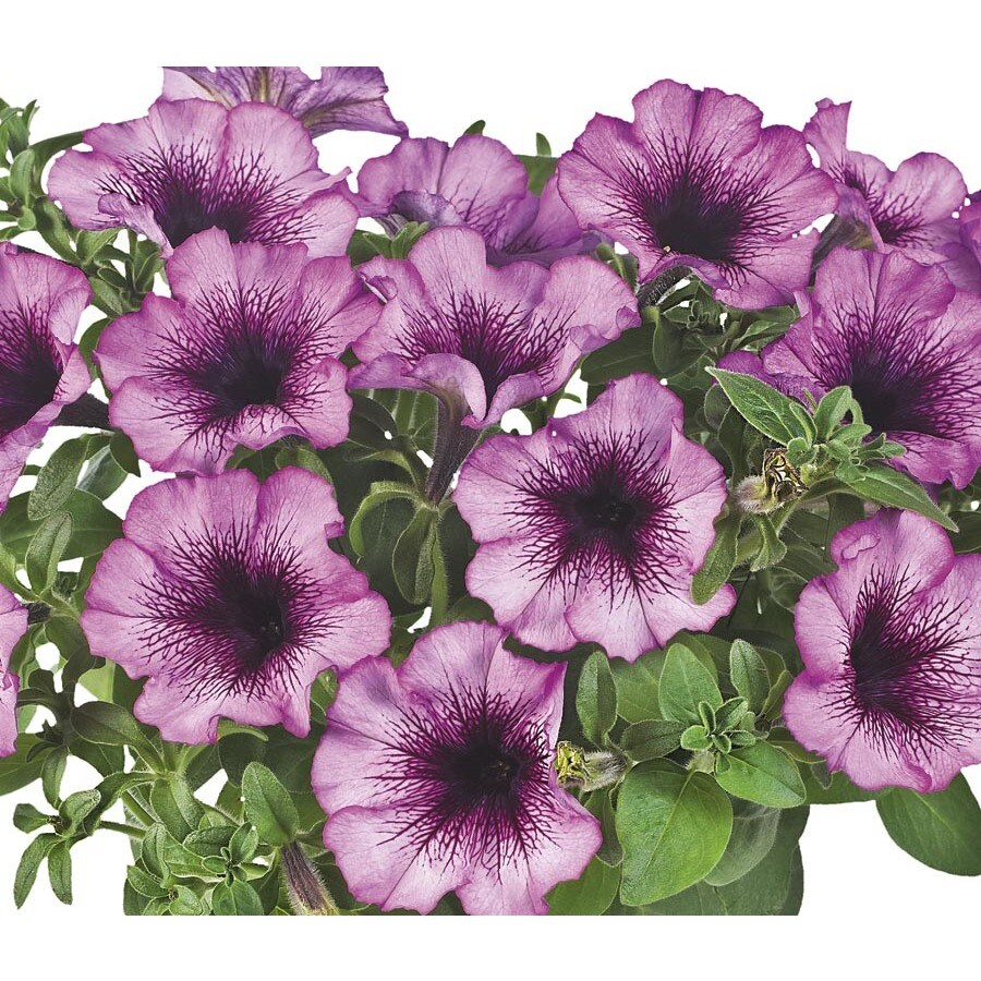 2.5-Quart Fortunia Purple Fairy Bell Petunia (L23618)