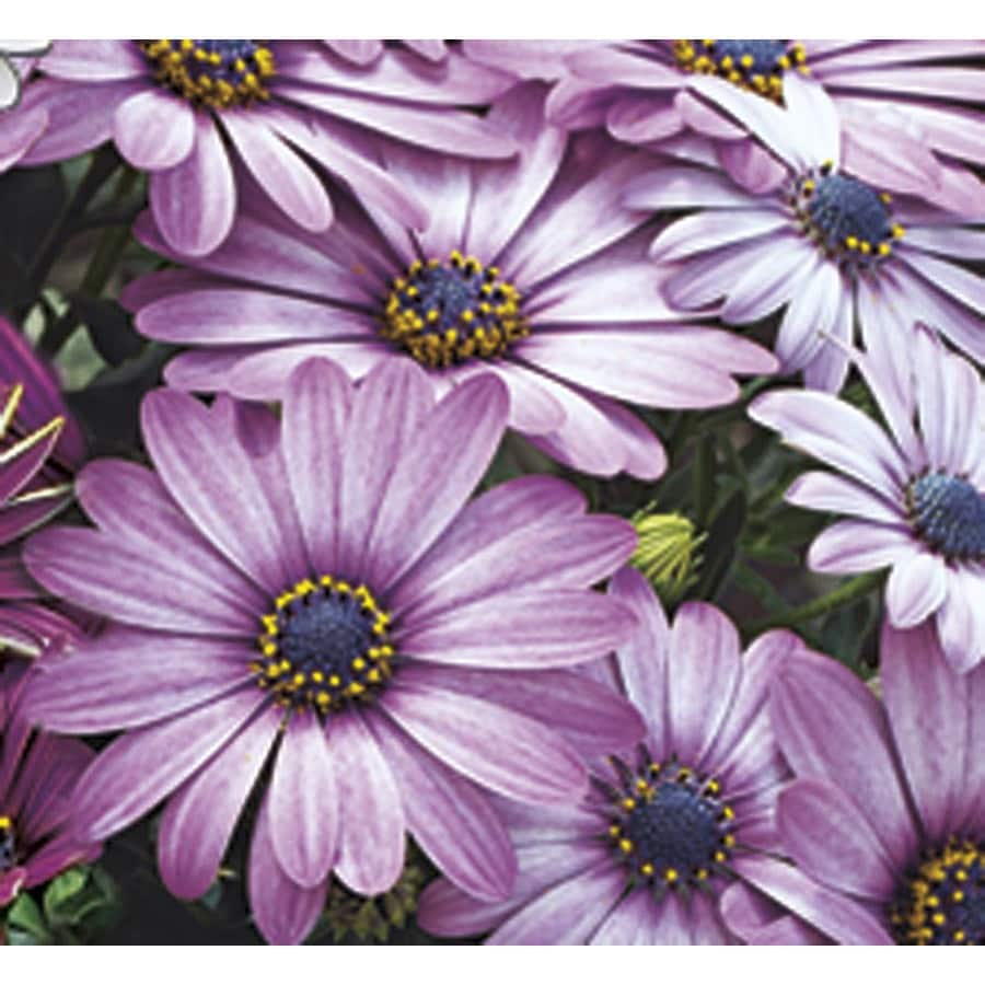 Shop 125 Quart Multicolor Crazy Daisy Osteospermum L25024 At