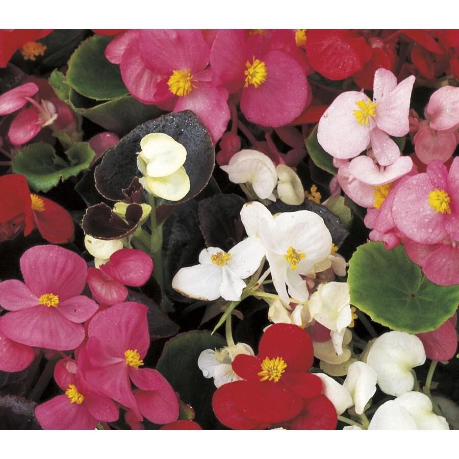 1.5-Gallon Begonia (L6589)