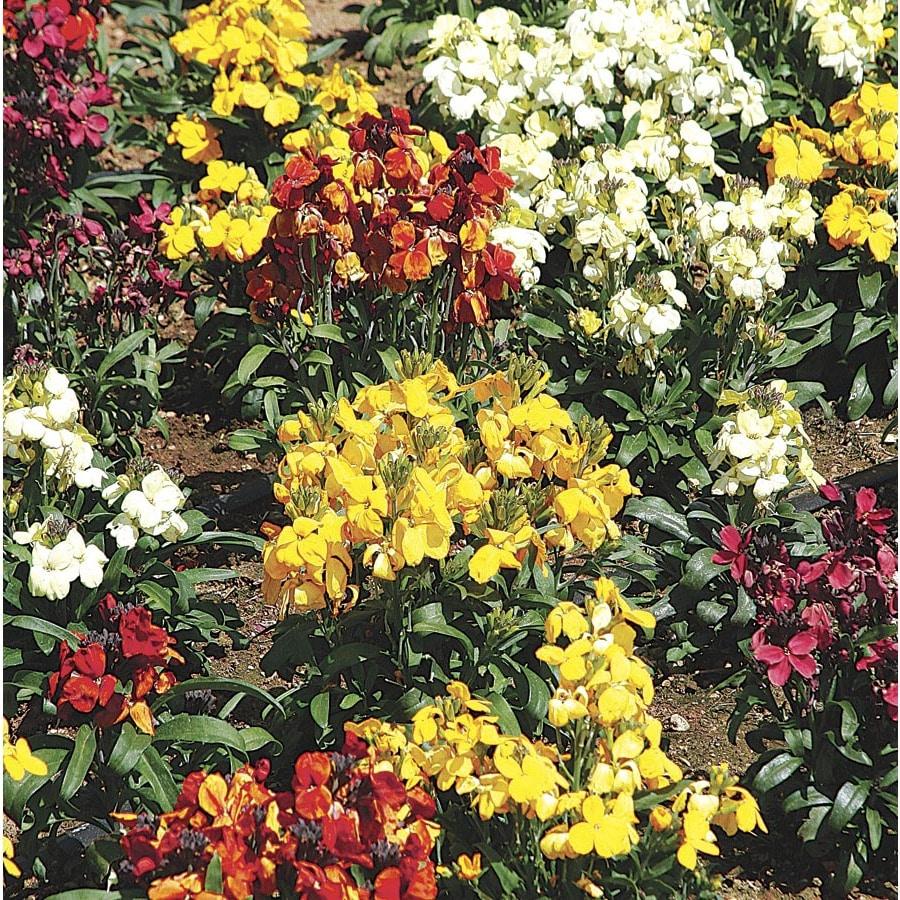 1-Pint Wallflower (LW04008)