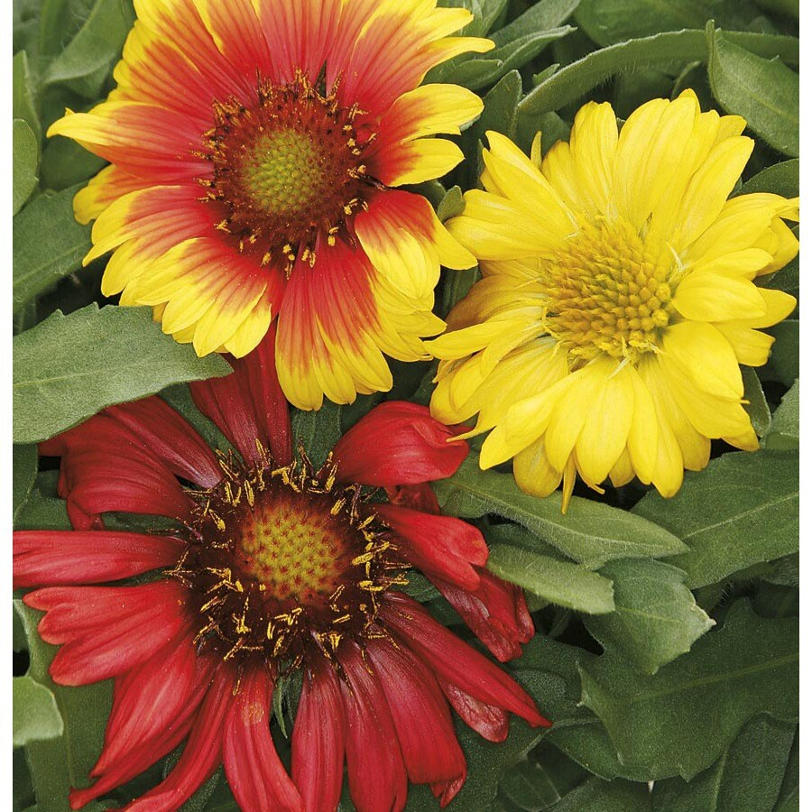 3-Quart Blanket Flower (L10067)