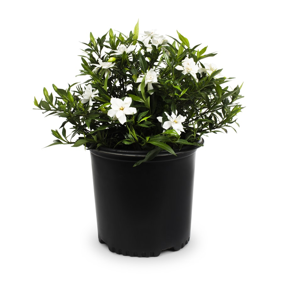 2.25-Gallon White Gardenia Flowering Shrub (L5150)