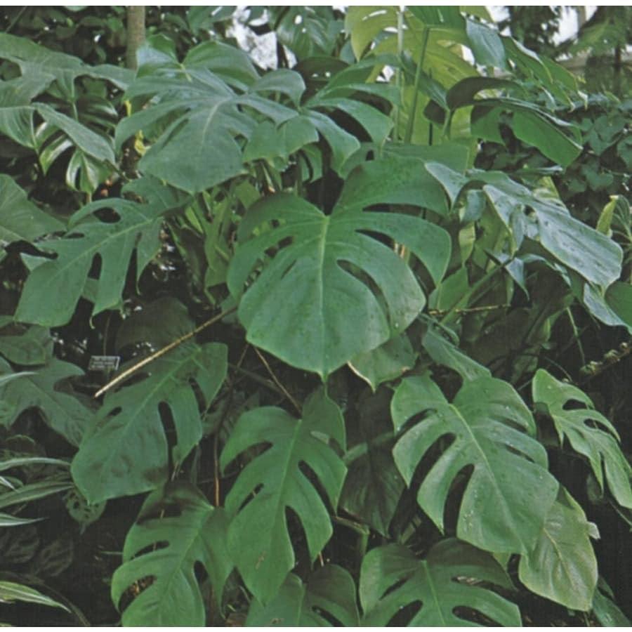 1.25-Quart Split-Leaf Philodendron (LTL0049)