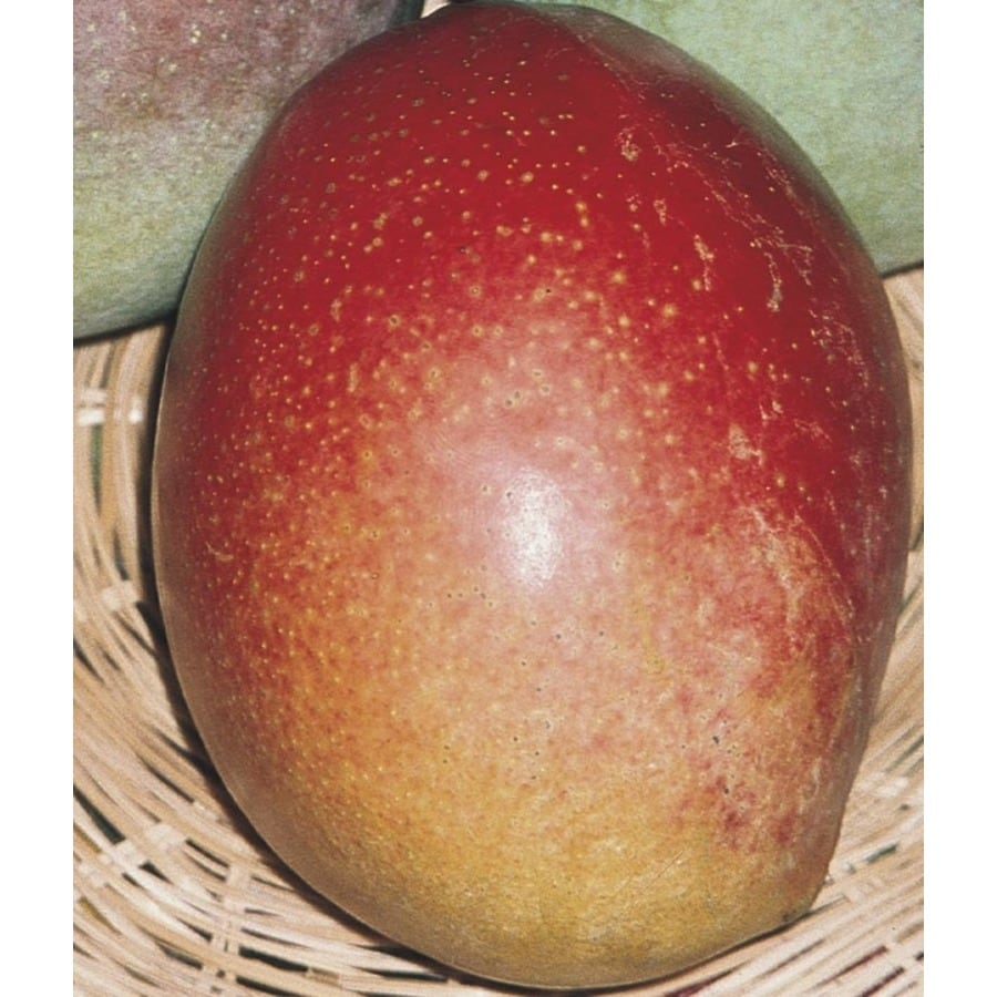 2.25-Gallon Mango Tree (L7606)