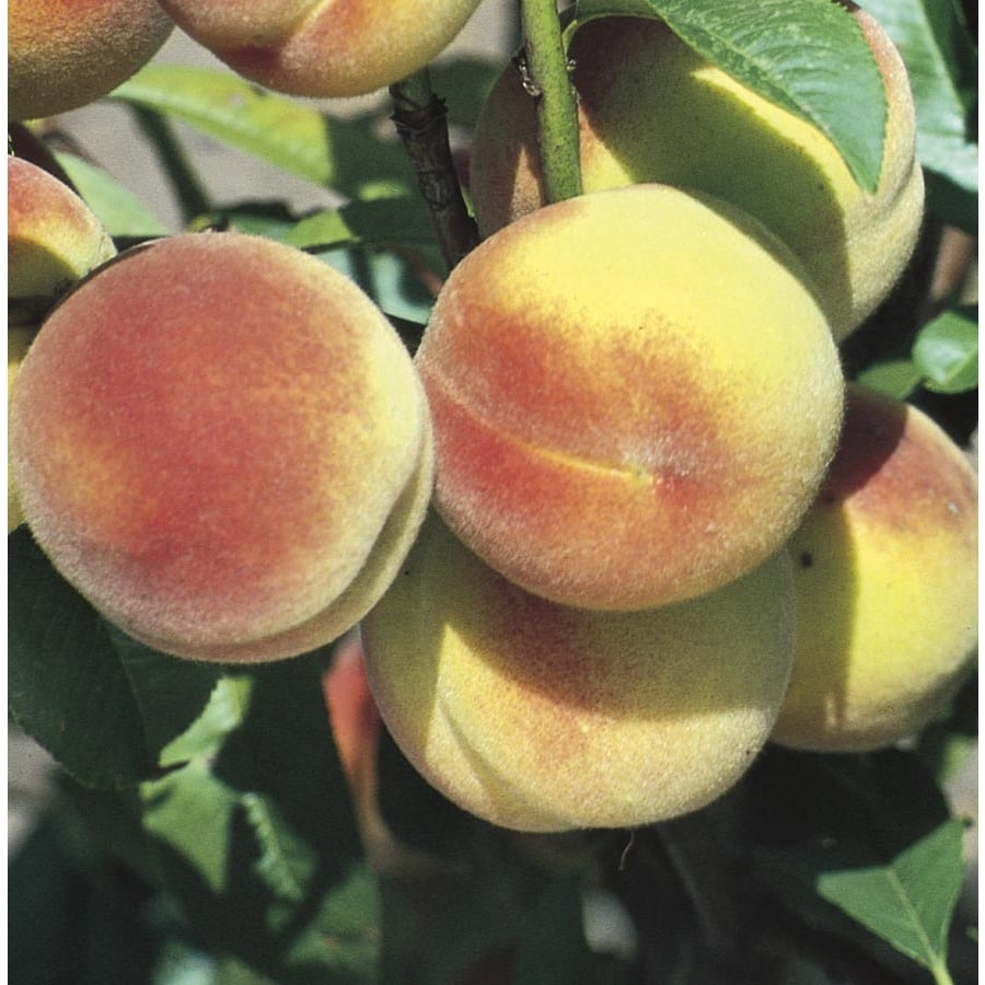 Semi-Dwarf Peach Tree (L6014)