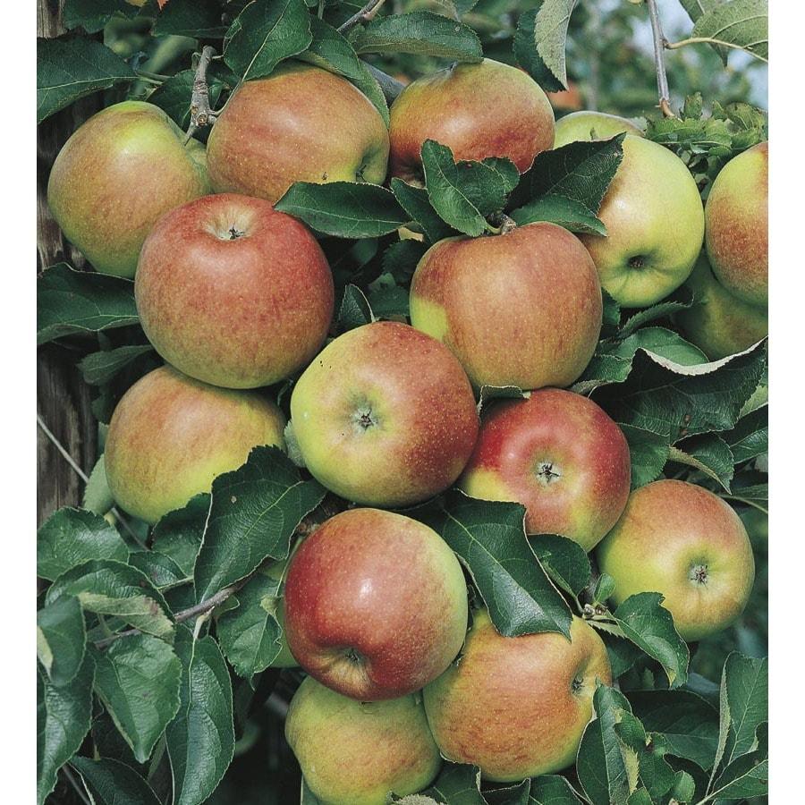 Jonagold Semi-Dwarf Apple Tree (L1333)
