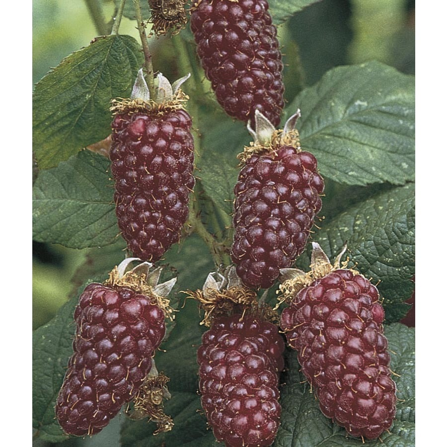 Thornless Boysenberry Small Fruit (L4598)