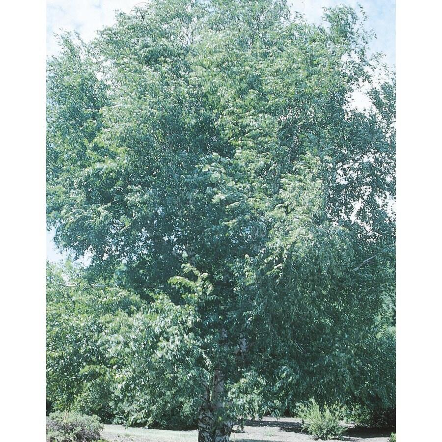 Cutleaf European White Birch Feature Tree (L7303)