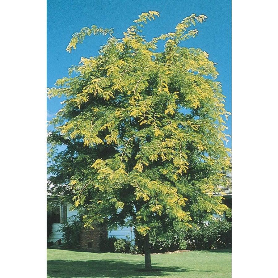 Sunburst Honeylocust Shade Tree (L1059)