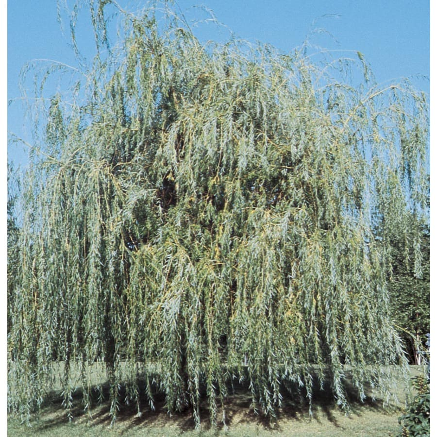 Niobe Weeping Willow Shade Tree (L4599)
