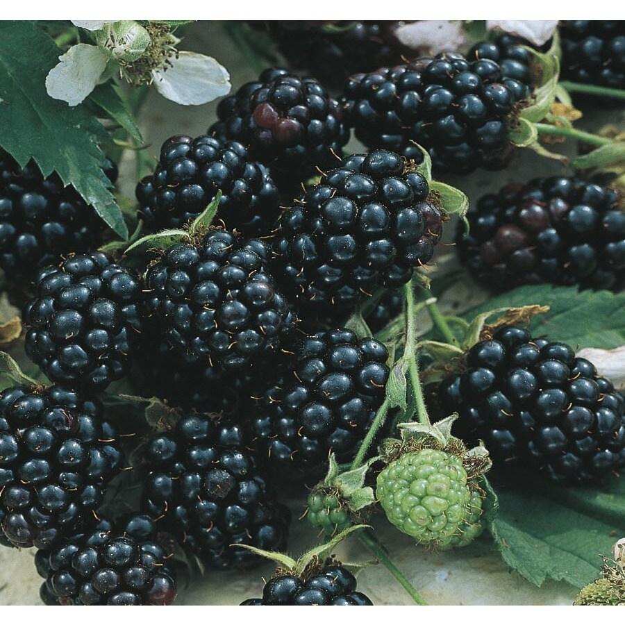 Sylvan Blackberry Small Fruit (L10506)