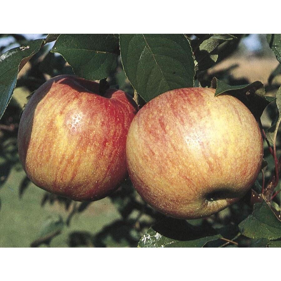 King Apple Tree (L10471)