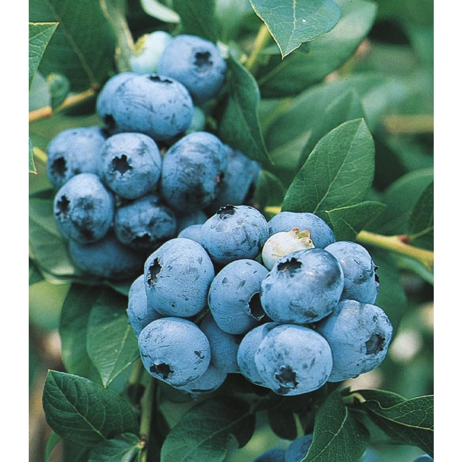 Blueberry Small Fruit (L6021)