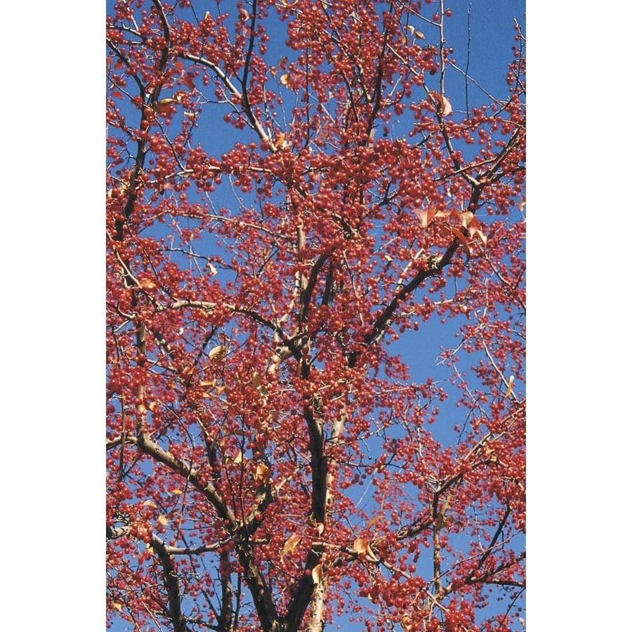 Red Splendor Crabapple Flowering Tree (L4155)