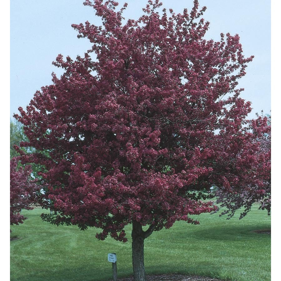 Shop adams crabapple flowering tree l1119 at for Crabapple tree
