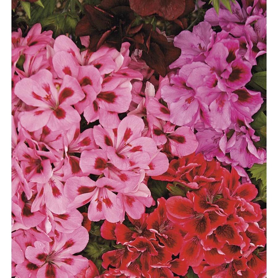 1.66-Quart Martha Washington Geranium (L9583)