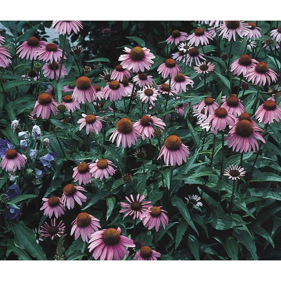 1.72-Gallon Purple Coneflower (L5556)