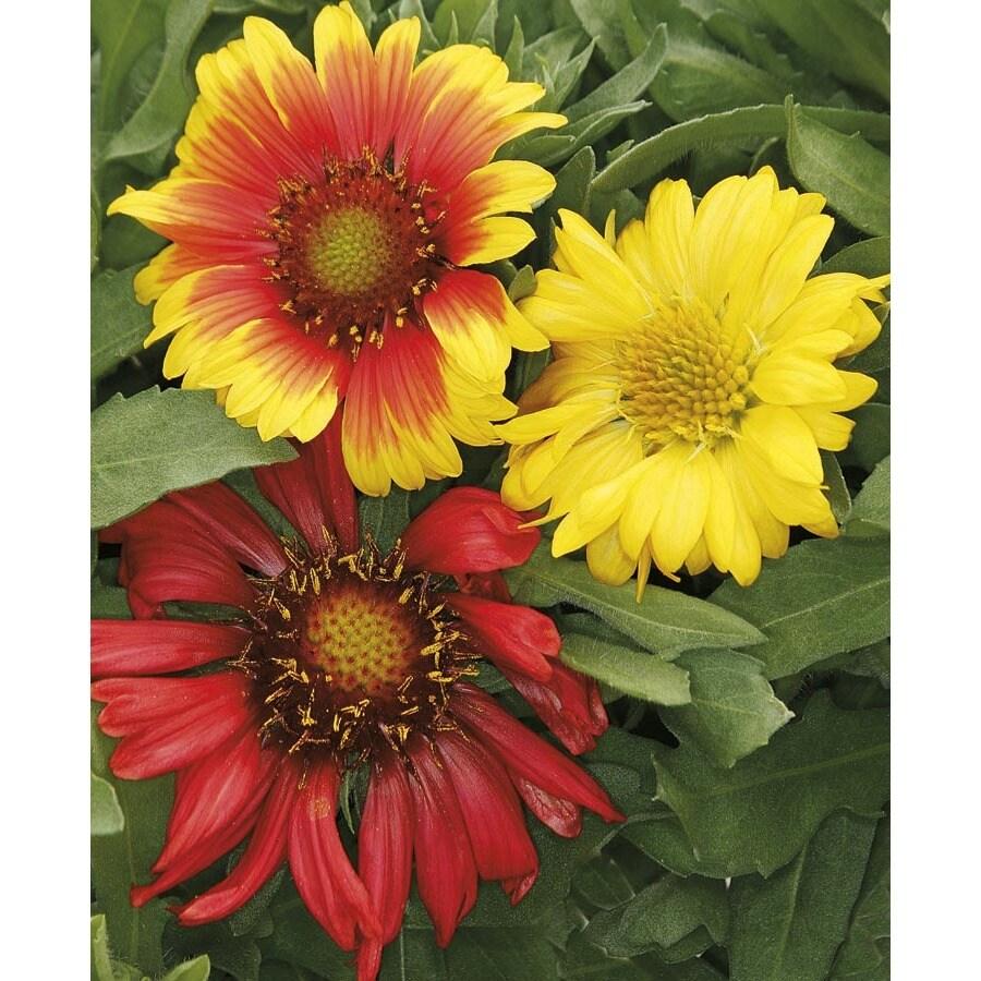 1.72-Gallon Blanket Flower (L10067)