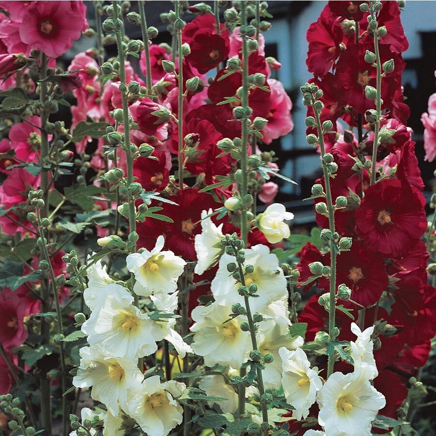 Shop 2-Gallon Hollyhock (L15013) at Lowes.com
