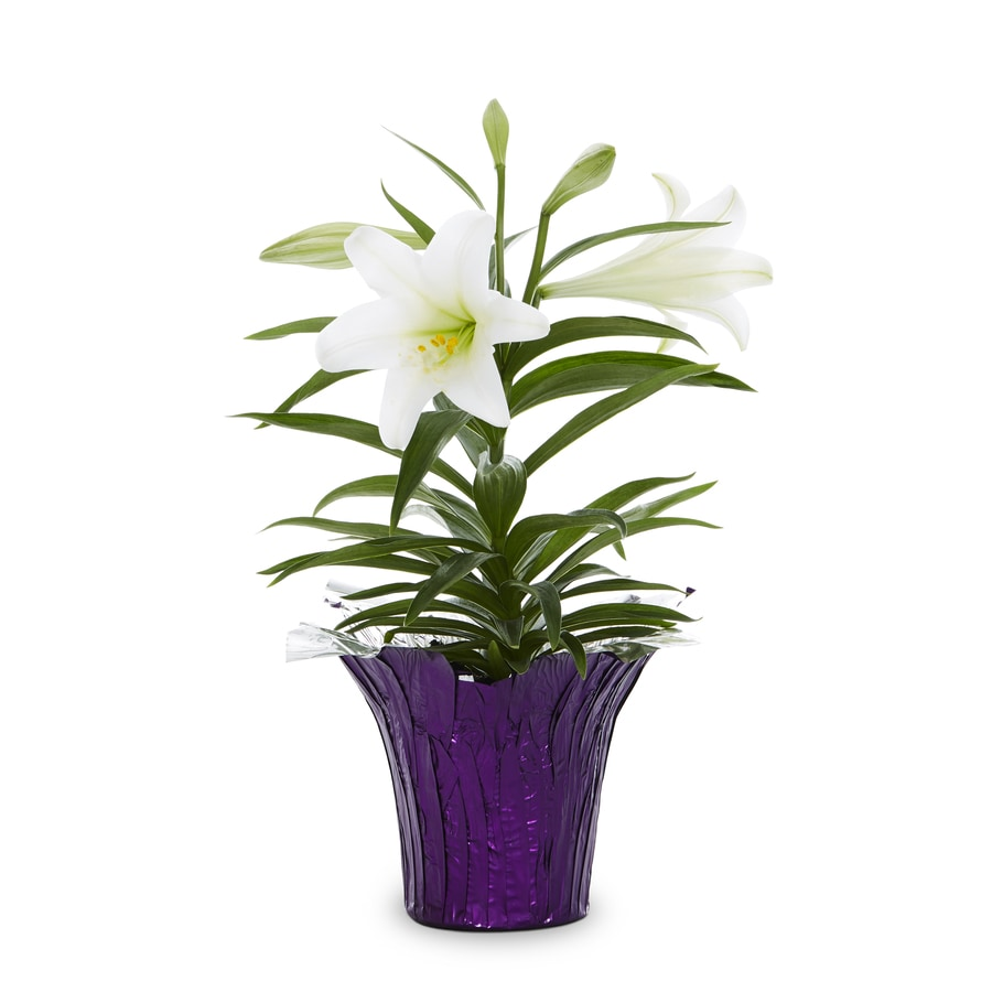 1.76-Quart Container Easter Lily (L2295)