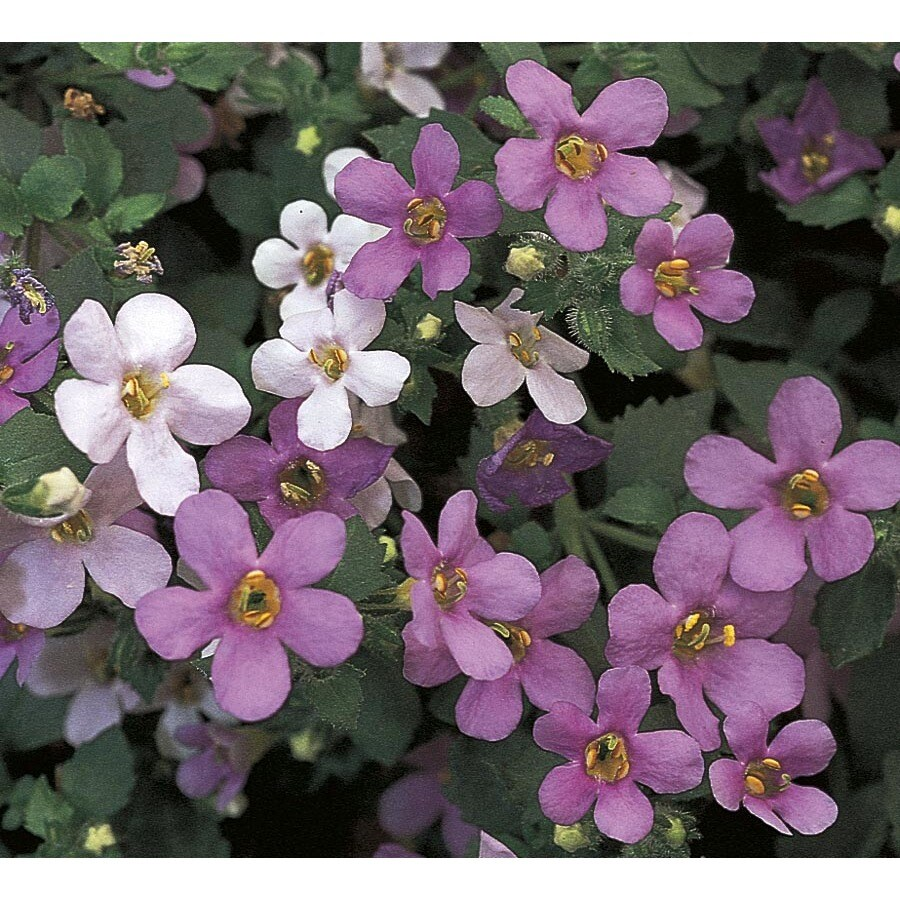 9-Pack Bacopa (L15223)