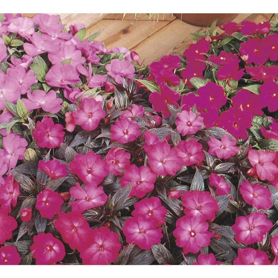 9-Pack New Guinea Impatiens (L3080)