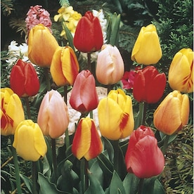 2.5-Quart Tulip Bulbs