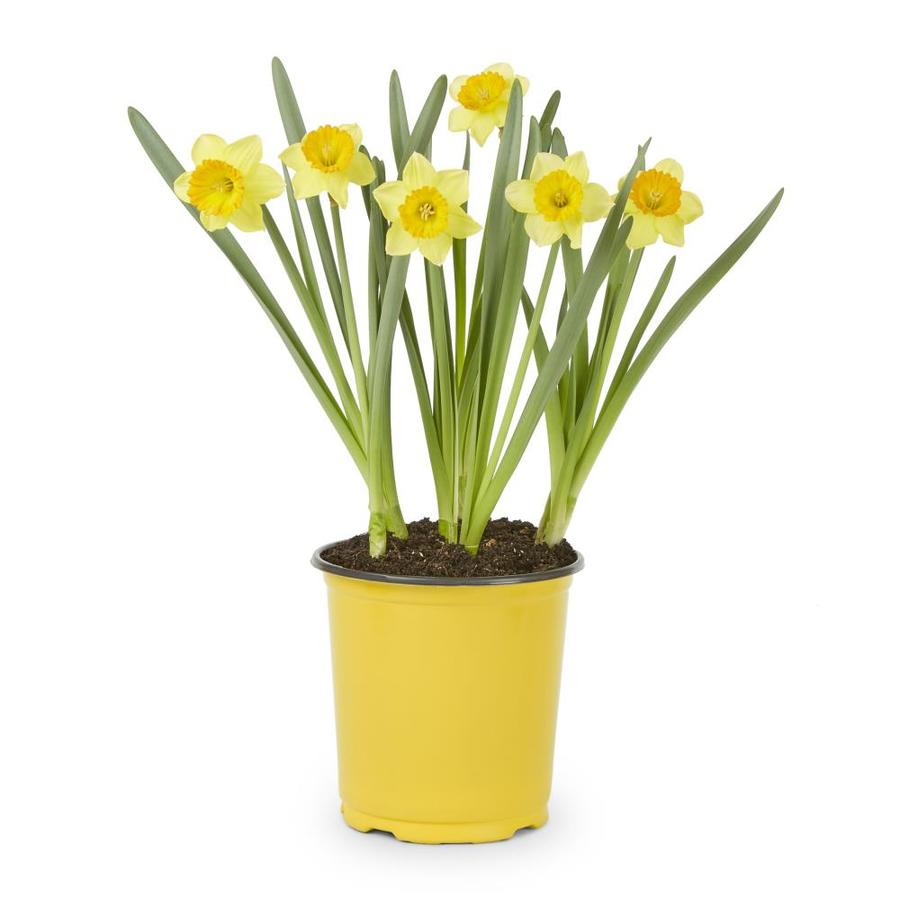 2.5-Quart Daffodil Bulbs