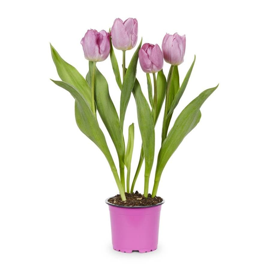 1-Pint Tulip Bulbs