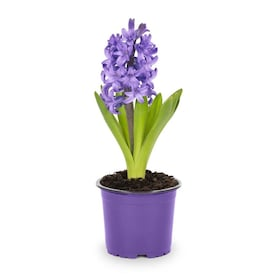 1-Pint Hyacinth Bulbs