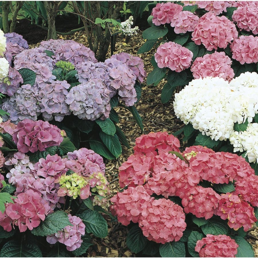 3-Quart Mixed Hydrangea Flowering Shrub (L6357)