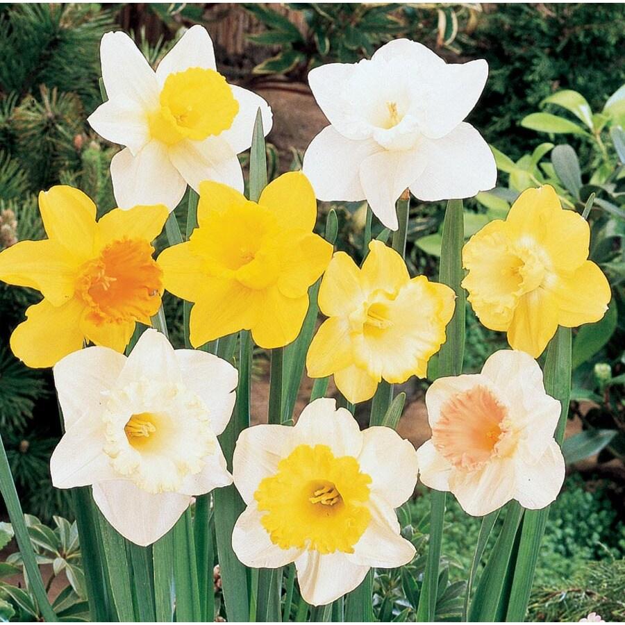 1-Quart Daffodil Bulbs
