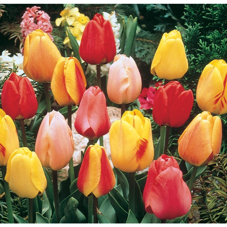 2.86-Quart Tulip Bulbs