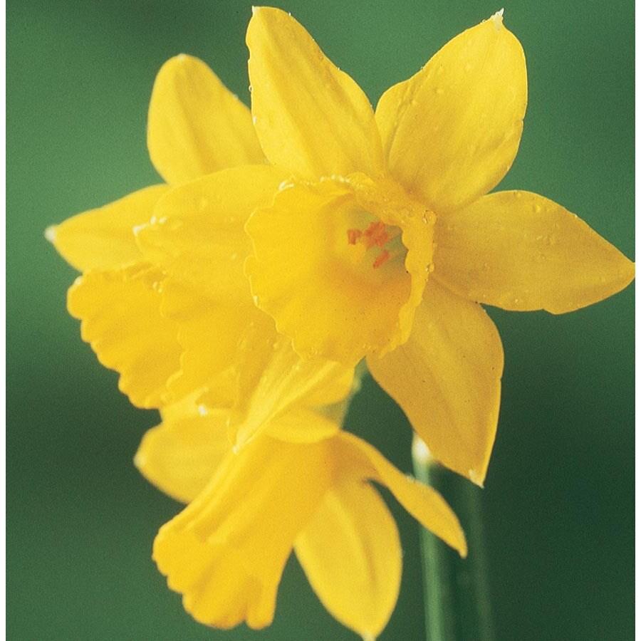 2.86-Quart Tete-a-Tete Daffodil Bulbs